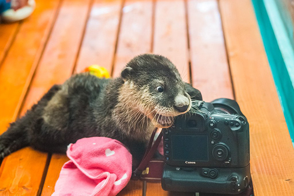 Otter Takes an Interest in Photography 1