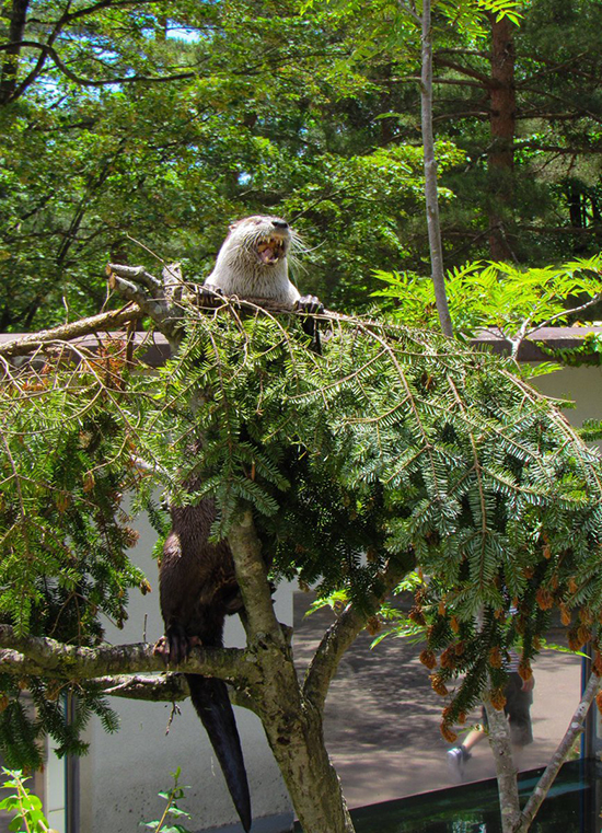 Otter Has Conquered That Tree