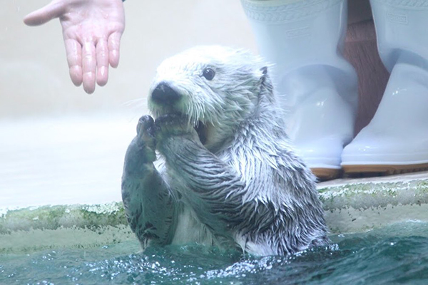 Maybe There's a Surprise Party for Sea Otter Out of Frame