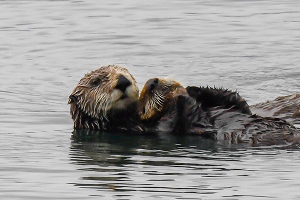 Wild Sea Otter Mother Holds Her Pup Close