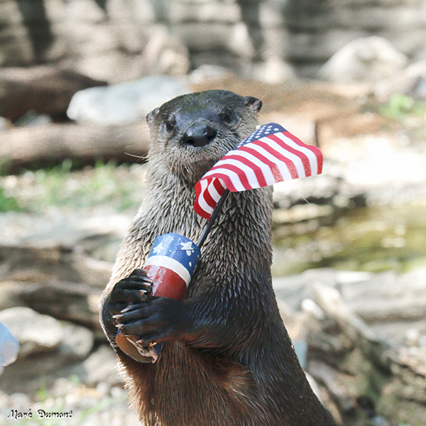 Otter Is Ready to Celebrate Independence Day