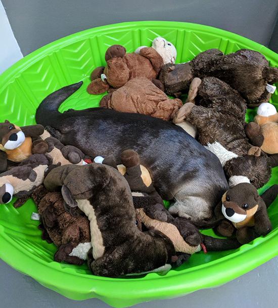 Otter Naps Among Friends