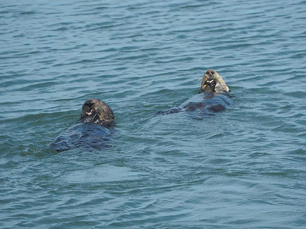Sea Otter Mother and Her Pup Gobble Up a Snack