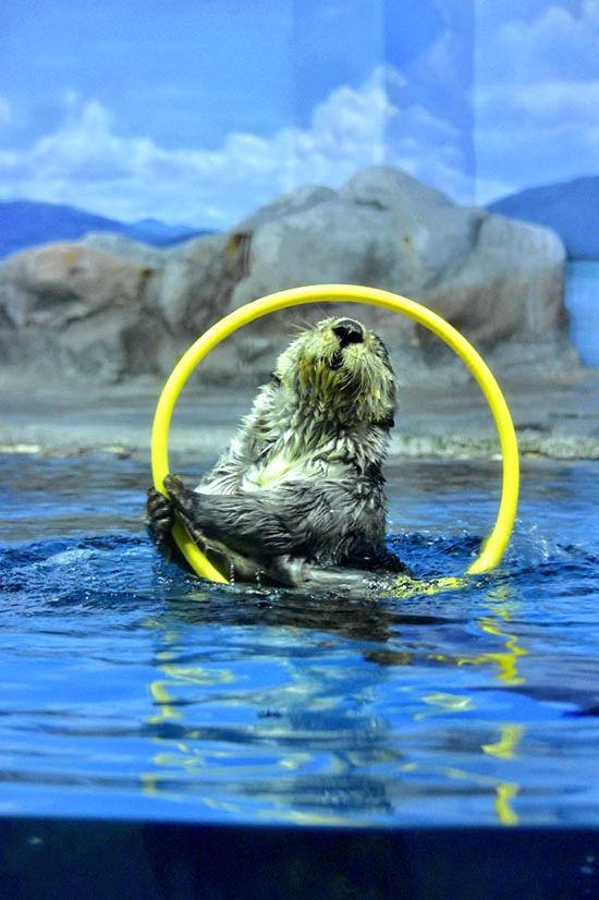 Sea Otter Is Determined to Be the Best (and First?) Water Hula Hooper