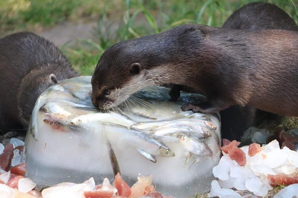 Otters Get an Icy, Tasty Enrichment Activity 1
