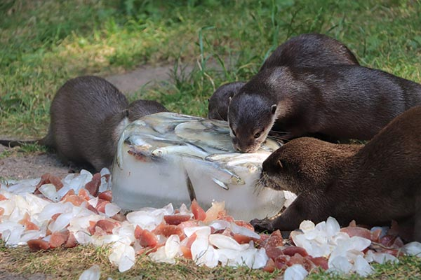 Otters Get an Icy, Tasty Enrichment Activity 2