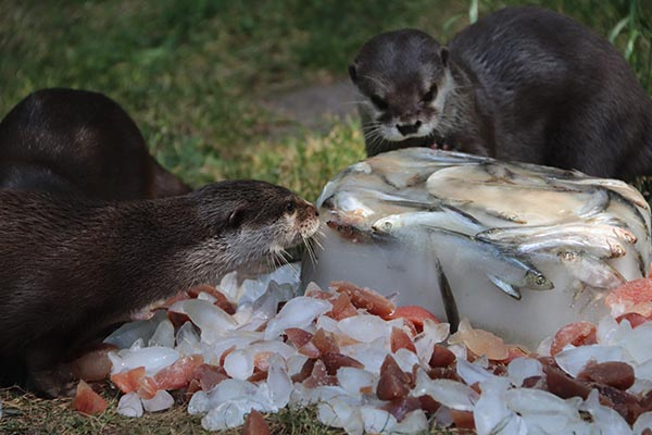 Otters Get an Icy, Tasty Enrichment Activity 3