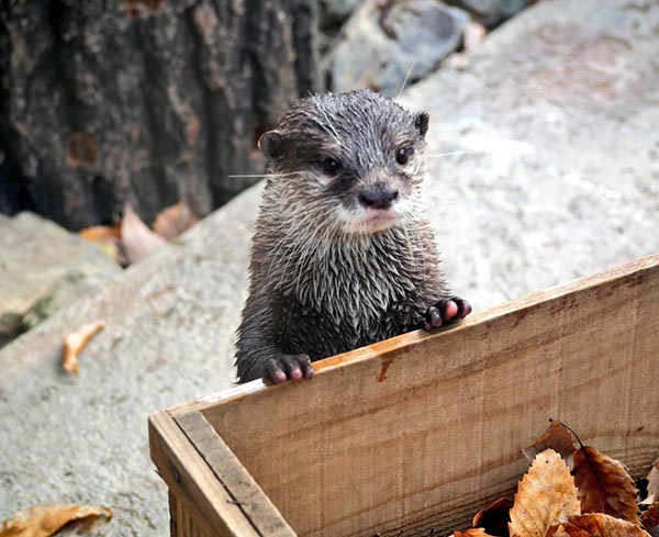 Otter and His Toy Box of Leaves