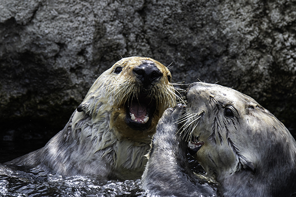 Statler and Waldorf Sea Otters Share a Hilarious Joke 1