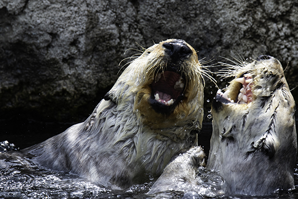 Statler and Waldorf Sea Otters Share a Hilarious Joke 2