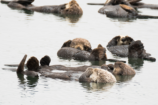 This Raft of Sea Otters Is Having a Collective Chill Time