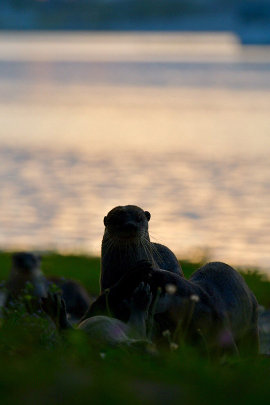 Otters at Dusk
