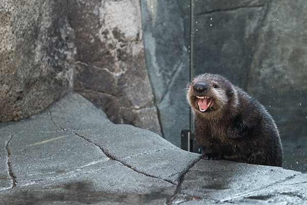 I Think Sea Otter Pup Just Watched Braveheart