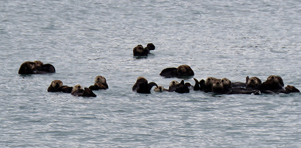 This Raft of Sea Otters Have Their Eyes on the Photographer
