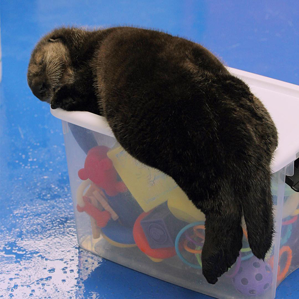Sea Otter Pup Fell Asleep on Her Toy Box