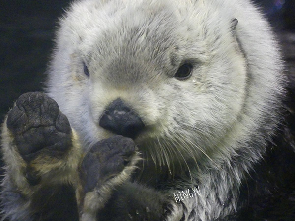 Sea Otter Plays Pattycake