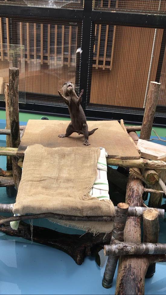 Will Otter Catch That Far-Flung Treat?