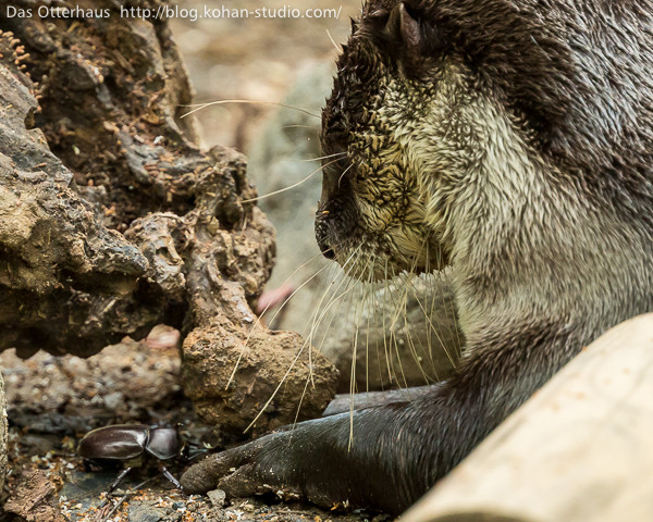 Otter Makes Friends with a Beetle