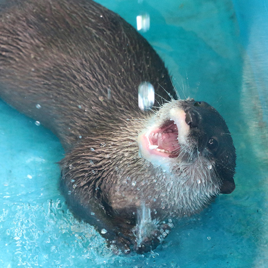 Otter Catches Falling Water with His Mouth 1