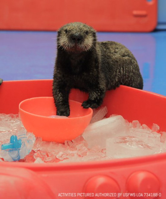 Sea Otter Has Quite the Ice Smorgasbord