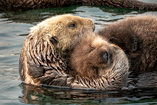 Nothing Like Sea Otter Mother and Baby Cuddles