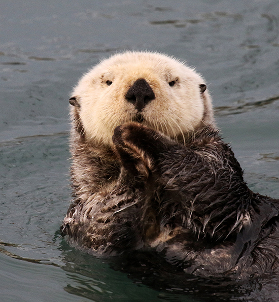 Sea Otter Is Very Demure