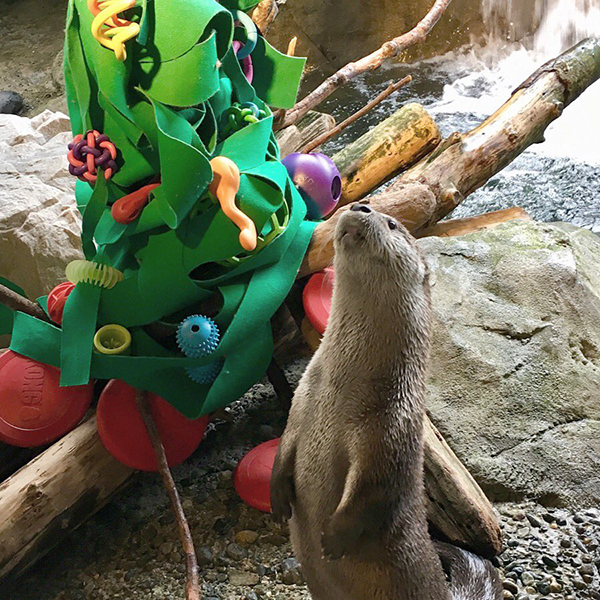 Otter Molalla Checks Out His Faux Kelp Christmas Tree