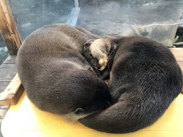 Otters Catch Up on Their Post-Holiday Naps