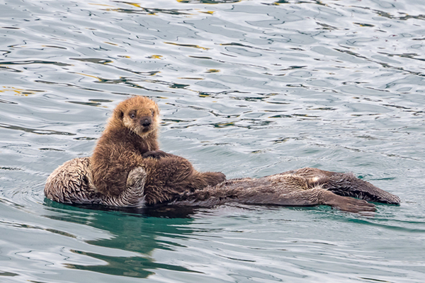 Sea Otter Pup Can See It All from the Safety of His Mother's Belly
