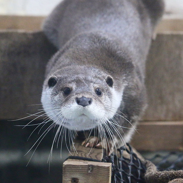 Otter Carefully Slinks Onto the Balance Beam