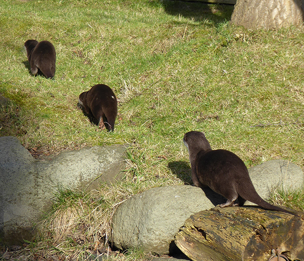 Single File Otters