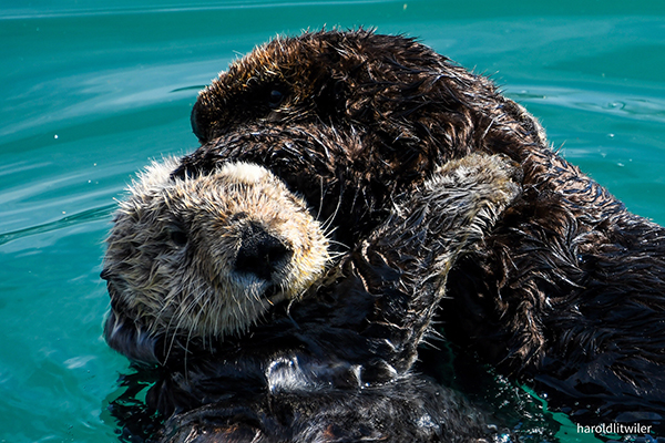 Sea Otter Pup Climbs All Over His Mother