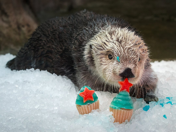 Sea Otter Charlie Is Having a Birthday Party, and You're Invited!