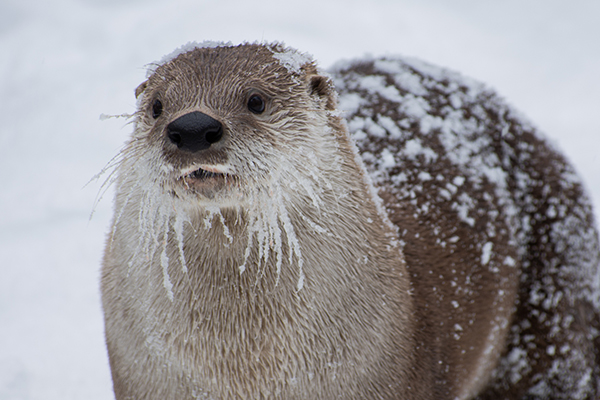 Otter's Been Having Fun in the Snow
