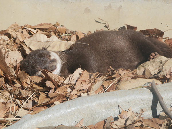 Dry Leaves Make a Fluffy Bed for Napping