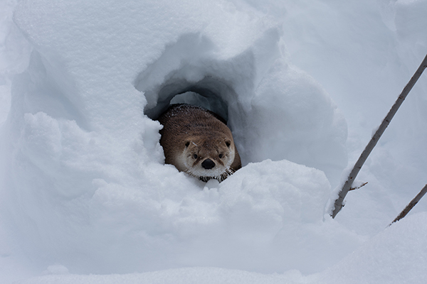 Otter Comes Out of His Snow Cave to Greet the Day
