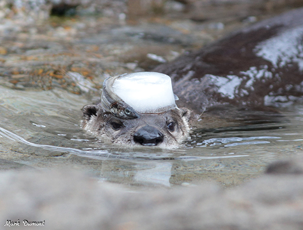 That's One Way of Transporting Your Snack, Otter