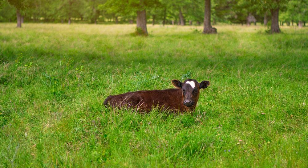 Cattle-16.jpg