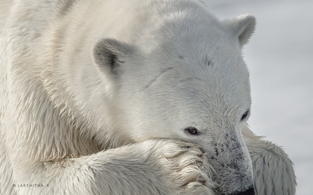 polar bear3.jpg
