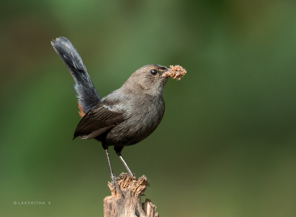 indian robin.jpg