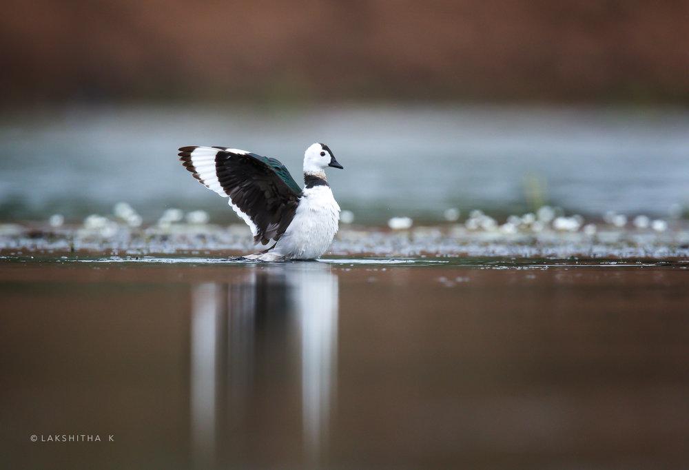 cotton pygmy goose.jpg