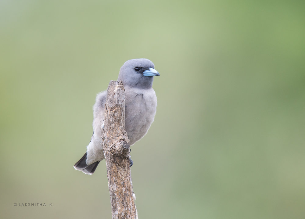 ashy wood swallow.jpg