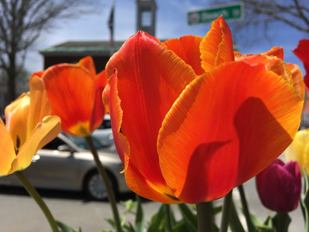 And the tulips are magnificent.