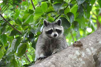Curiosity and boldness in wild raccoons