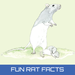 fun-rat-facts.JPG