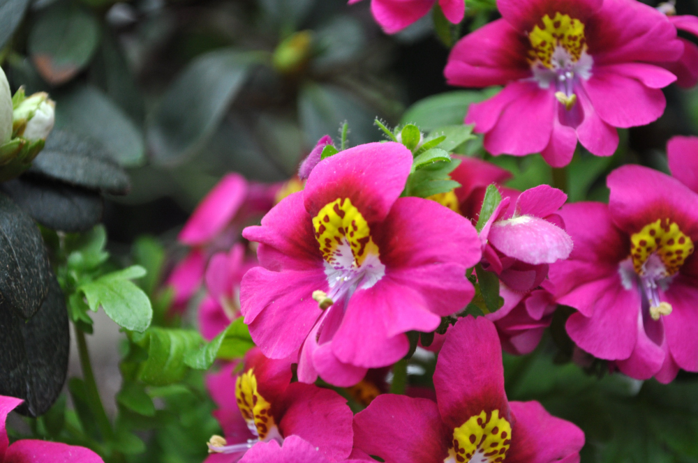 PINK MONKEYFLOWER: authenticity