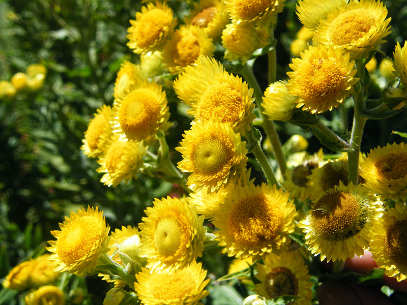 Helichrysum (1).jpg