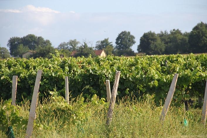 Chateau de Ravignan - Producteur d'Armagnac - vignes.JPG