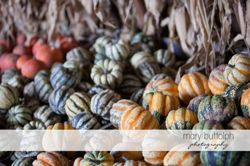 Pumpkins galore at Tim's Pumpkin Patch