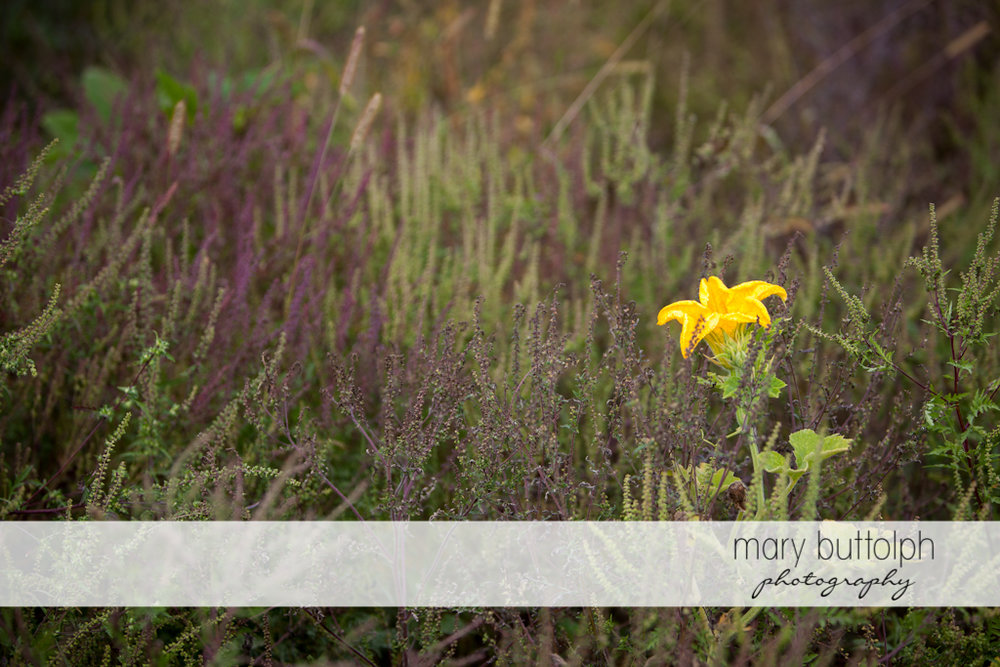 Lonely yellow flower stands out in the garden at Tim's Pumpkin Patch